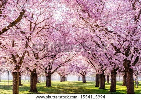 Sakura Cherry blossoming alley. Wonderful scenic park with rows of blooming cherry sakura trees and green lawn in spring, Germany. Pink flowers of cherry tree.  #1554115994