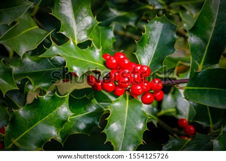 Christmas Holly red berries, Ilex aquifolium. Holly green foliage with mature red berries. Ilex aquifolium or Christmas holly. Green leaves and red berry Christmas holly, closeup card #1554125726