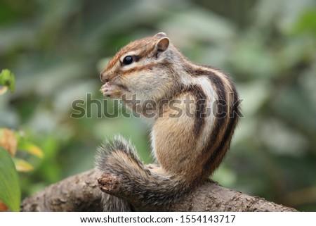 An Eastern Chipmunk (Tamias striatus)  in the forest. #1554143717
