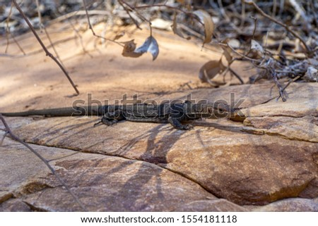 in the Australian outback, a medium-sized lizard lies on a rock and suns itself #1554181118