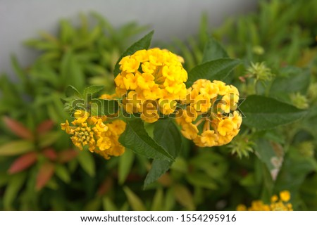 Lantana camara is a species of flowering plant within the verbena family (Verbenaceae). Other common names: big-sage , wild-sage, red-sage, white-sage, tickberry, tahi ayam, sailara and tembelekan. #1554295916