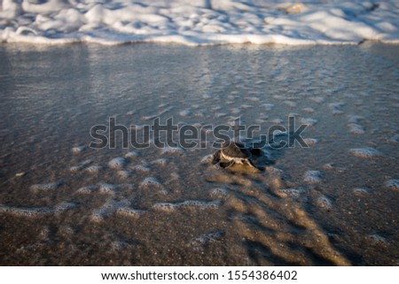Green sea turtle hatchling on the beach on the Swahili Coast, Tanzania. #1554386402