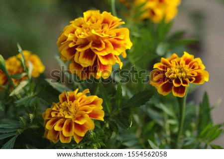 Beautiful golden yellow French marigold with blur background #1554562058