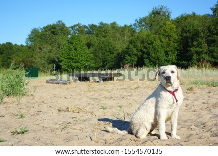 Happy labrador observing the beach side during summer day #1554570185