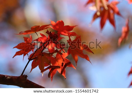 The leaf red in autumn of colored leaves is beautiful #1554601742