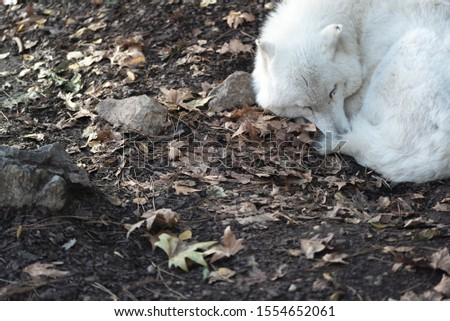 White wolf sleeps on the ground. Cropped picture with space for text