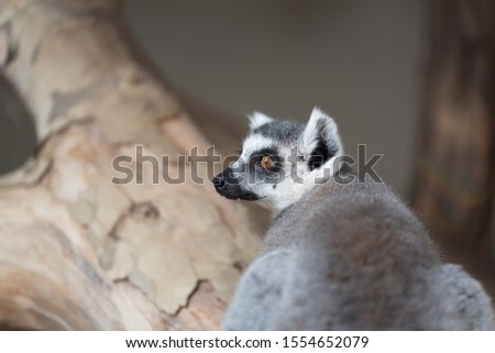 Closeup animal raccoon. Black white grey colors. Standing on the tree. Blurred background. Picture with copy space