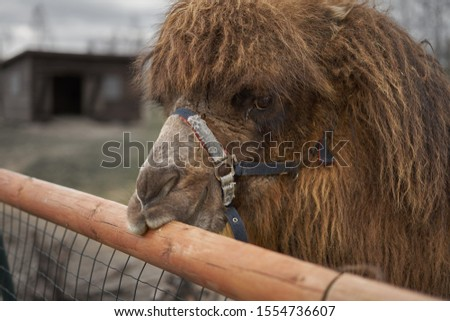 Little camel at small latvian zoo Royalty-Free Stock Photo #1554736607