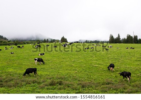 Beautiful landscape sceneries in Azores Portugal. Tropical nature in Sao Miguel Island, Azores. Black and white cows in a grassy field. #1554816161