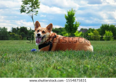 Picture of a corgi dog - 3 years old