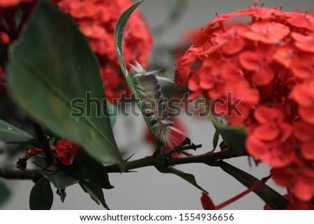 Venomous caterpillar (lagarta cachorrinho or podalia sp.) #1554936656