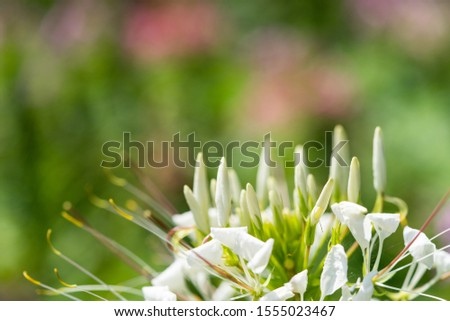 The beautiful flowers with in summer day ,Spider flower or Tarenaya hassleriana, White flower  on blurred greenery background in garden #1555023467