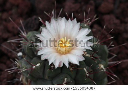 Thelocactus hexaedrophorus  Silvery-white or rarely pinkish with more or less magenta midribs, 4,5-5,5(-10) in diameter, broader than long when expanded .  #1555034387