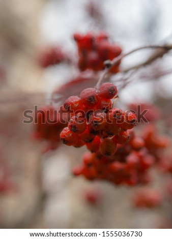wet ripe bunches of ripe hawthorn fruits in autumn #1555036730