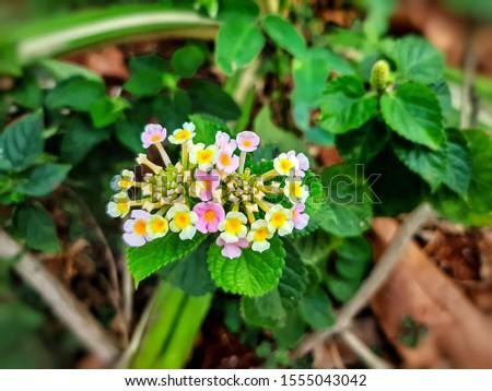 Beautiful little colorful Lantana Camara flowers also known as Big Sage, Wild Sage, Red Sage, White Sage, West Indian Lantana or Umbelanterna #1555043042