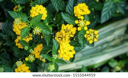 Beautiful little colorful Lantana Camara flowers also known as Big Sage, Wild Sage, Red Sage, White Sage, West Indian Lantana or Umbelanterna #1555044959