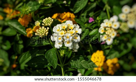 Beaufiful little colorful Lantana Camara flowers also known aa Big Sage, Wild Sage, Red Sage, White Sage, West Indian Lantana or Umbelanterna #1555046678