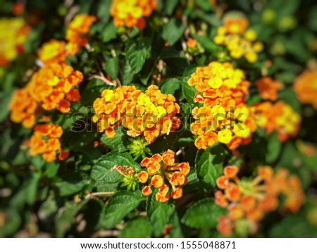 Beautiful little colorful Lantana Camara flowers also known as Big Sage, Wild Sage, Red Sage, White Sage, West Indian Lantana or Umbelanterna #1555048871