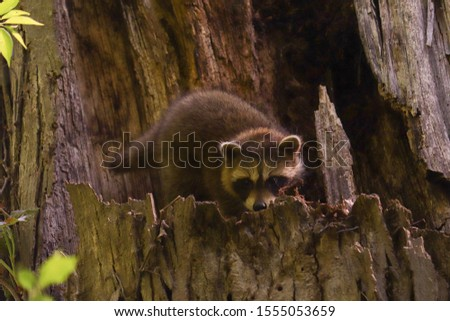 Baby raccoon up in a tree in the woods