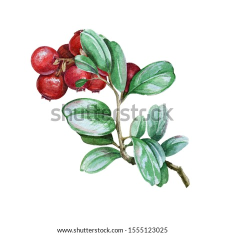 Lingonberry stem with green leaves and red berries watercolor illustration. Hand drawn organic fresh foxberry. Tasty ripe cowberry image isolated on white background. #1555123025