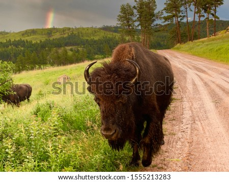 Picture of a bison in South Dakota.