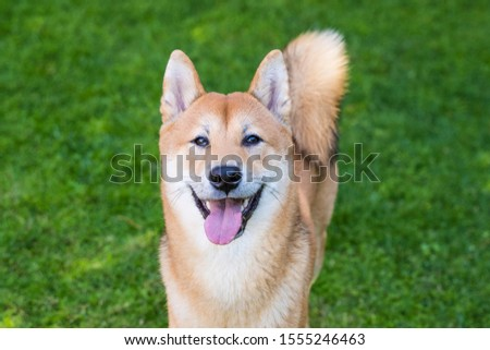 Portrait of cheerful shiba inu dog with tongue out. Isolated healthy dog in green background. Doggy playing in the park. Playful time with pets, leisure with healthy animals. Adopt a pet from shelter #1555246463