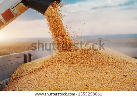 Machine for separating corn grains working on field and filling tractor trailer with corn. Autumn time. Husbandry concept. #1555258061