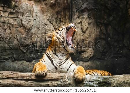 Tigers feeding.
