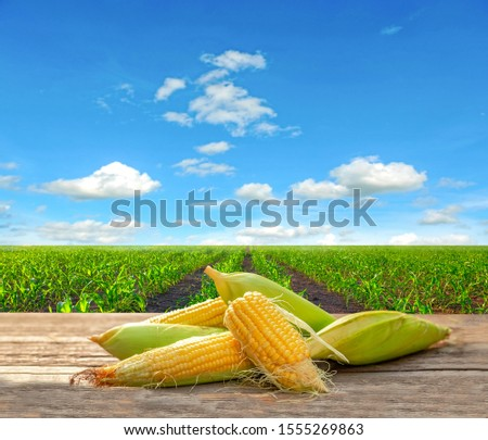 organic corn on wooden floor beside corn field with blue sky background. #1555269863
