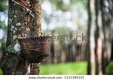 Tapping latex rubber tree, Rubber Latex extracted from rubber tree, harvest in Thailand. #1555389101