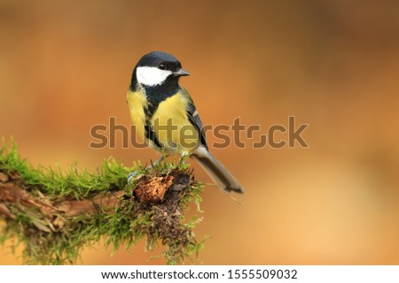 Garden bird Great tit, songbird sitting on the nice branch with beautiful autumn background. little bird in nature forest habitat, Wildlife scene from nature. Parus major #1555509032