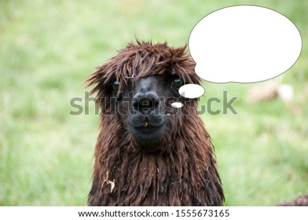 Funny picture with bubble idea portrait of lama alpaca.