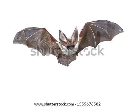 Flying bat isolated on black background. The grey long-eared bat (Plecotus austriacus) is a fairly large European bat. It has distinctive ears, long and with a distinctive fold. It hunt above woodland #1555676582