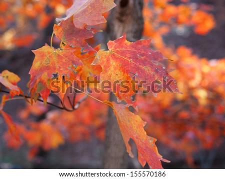 Maple Leaves #155570186