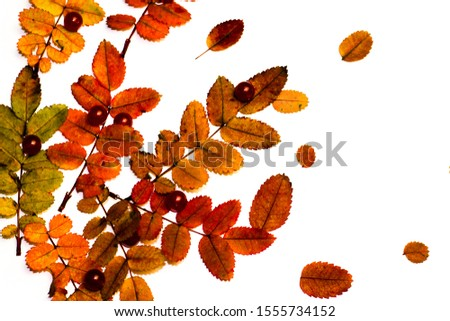 Nature materials isolated on white background with autumn leaves and different artificial pearls #1555734152