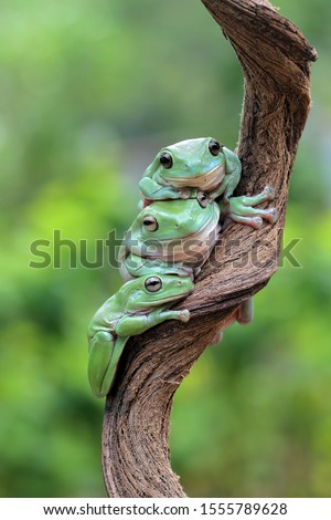 Australian white tree frog on leaves, dumpy frog on branch, animal closeup, amphibian closeup #1555789628