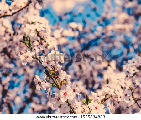 Flower art, romantic card and botanical backdrop concept - Vintage cherry flowers in bloom at sunrise as nature background for spring holiday design, floral dream garden #1555834883