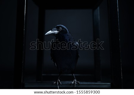 Dark portrait of a raven bird (black crow) on black background. #1555859300