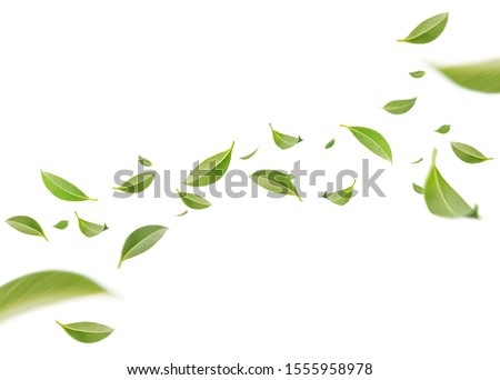Flying whirl green leaves in the air, Healthy products by organic natural ingredients concept, Empty space in studio shot isolated on white background long banner Royalty-Free Stock Photo #1555958978