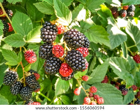 Berry background. Close up of ripe blackberry. Ripe and unripe blackberries on the bush with. Selective focus. #1556060594