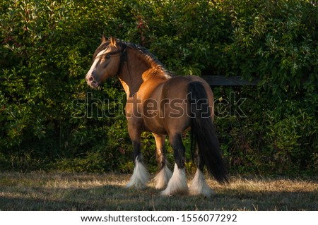Beautiful chestnut (brown with black mane) cart horse stallion stand freely in the paddock during summer time. Concepts: animal, free, equestrian, portrait #1556077292