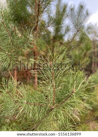 green pine branches in the coniferous forest #1556136899