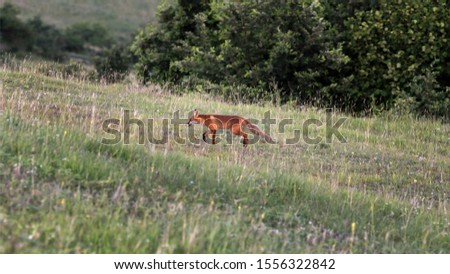 The red fox (Vulpes vulpes) is the largest of the true foxes and one of the most widely distributed members of the order Carnivora.	 #1556322842