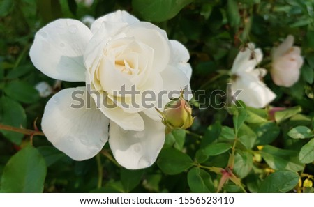 Closeup of a white musk rose and a rosebud against green foliage background #1556523410