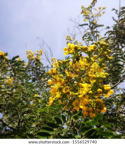 Cassia tree with cassia yellow flower and sky #1556529740