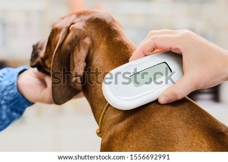 Veterinarian checking microchip implant under rhodesian ridgeback dog puppy skin in vet clinic, scanner device close up Royalty-Free Stock Photo #1556692991
