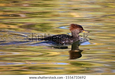 A merganser duck swims in a reflecting pond with fall colors reflected in the rippled surface. #1556733692