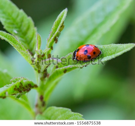 macro of a ladybug (coccinella magnifica) on verbena leafs eating aphids; pesticide free biological pest control through natural enemies; organic farming concept Royalty-Free Stock Photo #1556875538