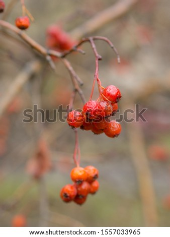 wet ripe bunches of ripe hawthorn fruits in autumn #1557033965
