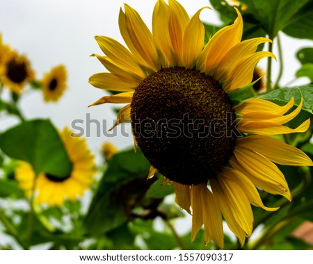 a picture of a sunflower in Italy